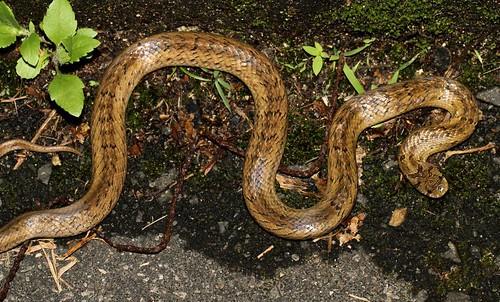 Taiwan Kukri Snake (Oligodon formosanus)