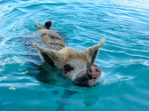 Swimming porker