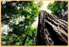 MOUNT RAINIER TREES