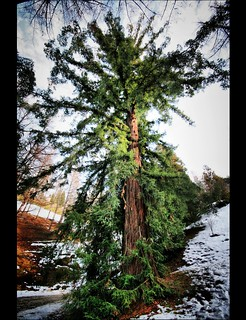 Lady Sequoia