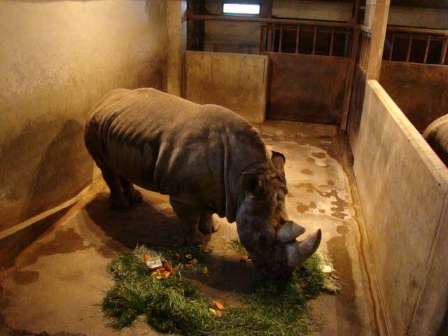 Photo:Breaking wind!!:->  of white rhino. By muzina_shanghai
