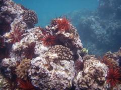 Snorkeling at Ulua Beach - coral