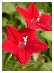 amaryllis belladonna, annual plant, flower, plant, flora, petal,