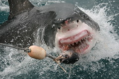animal, fish, great white shark, shark, marine biology, lamniformes, requiem shark,