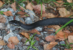 animal, serpent, snake, reptile, fauna, garter snake, scaled reptile, wildlife,