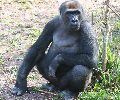 Gorilla, Paignton Zoo, Devon by Stocker Images