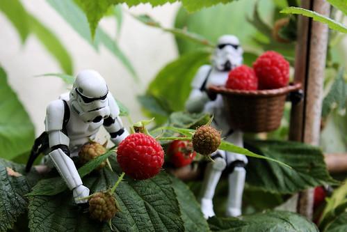 Raspberry Harvesting Squad