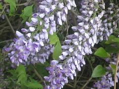 lilac(0.0), blossom(0.0), hesperis matronalis(0.0), flower(1.0), lilac(1.0), herb(1.0), wildflower(1.0), flora(1.0),
