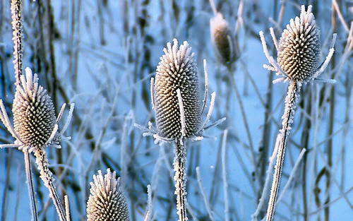 Rime frost on teasel