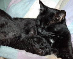 animal, small to medium-sized cats, pet, mammal, black cat, bombay, cat, whiskers, black, manx, domestic short-haired cat,