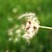 Small photo of Taraxacum