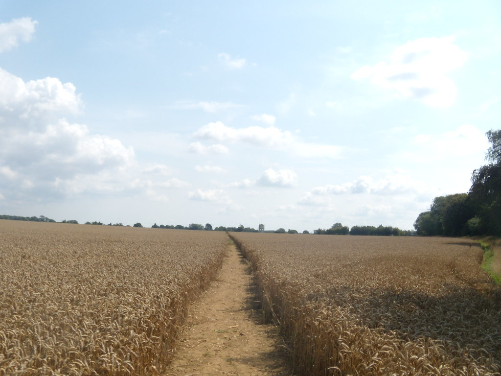 Wheat Lenham to Charing