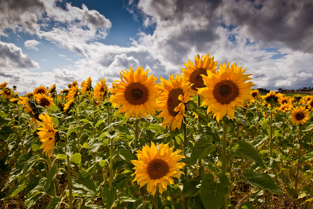 Hartlepool Sunflowers