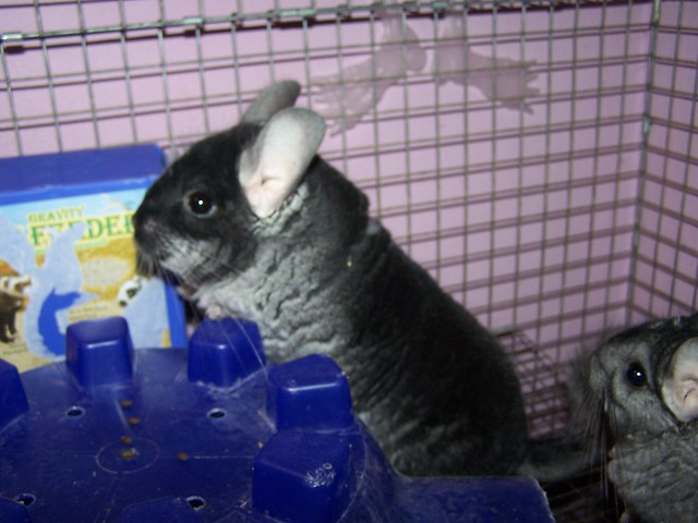 Image Result For Can Chinchillas Get