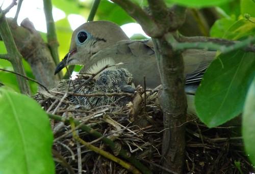 P1020014v1-dove-mama-with-baby