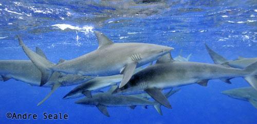 Tubaroes de Galapagos