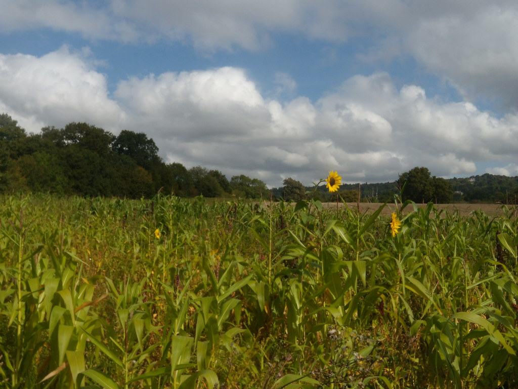Sunflowers Edenbridge to Westerham