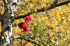 Herbstrosenrot