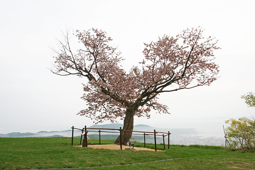 cherry geotagged hokkaido heart blossom otaru cherrytree 小樽 tenguyama 天狗山 一本桜 mttengu 天狗桜 gettyimagessakura lonecherryblossomtree otarufan geo:lat=4317184187630988 geo:lon=14097268485994107