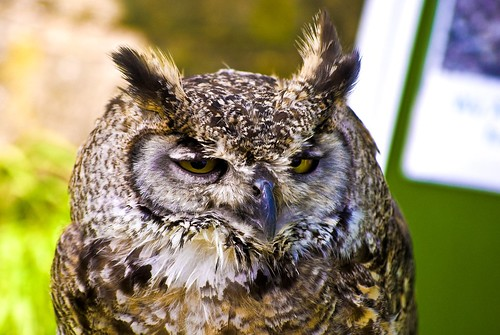 Northern Great Horned Eagle Owl