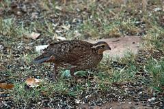 ruffed grouse(0.0), snipe(0.0), animal(1.0), fauna(1.0), bird(1.0), galliformes(1.0), wildlife(1.0),