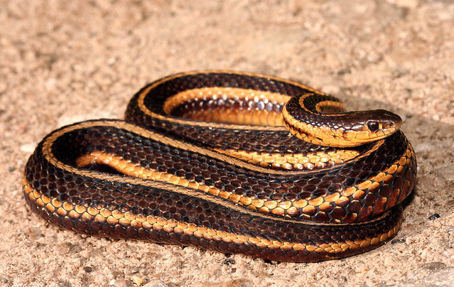 research paper butlers garter snake conservation