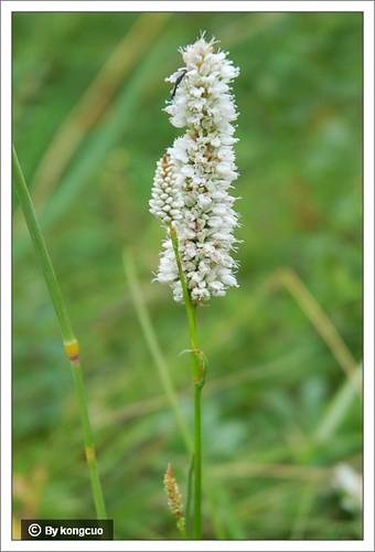 内蒙古植物照片-蓼科蓼属拳蓼