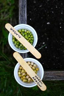 Planting Fall Peas