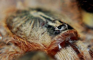 Red Slate Ornamental Tarantula