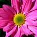 Chrysant roze-geel - Chrysanthemum pink-yellow