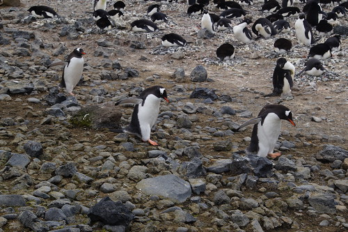 350 Brown Bluff  Ezelspinguins