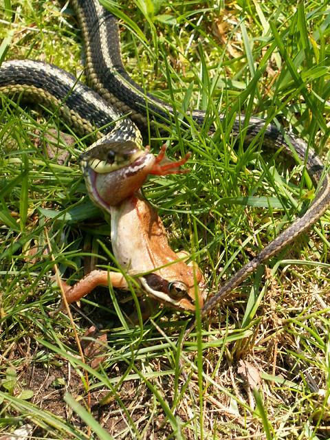 Snake eating frog 5 flickr photo sharing for What do baby garden snakes eat