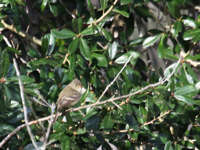Possible Pine Flycatcher