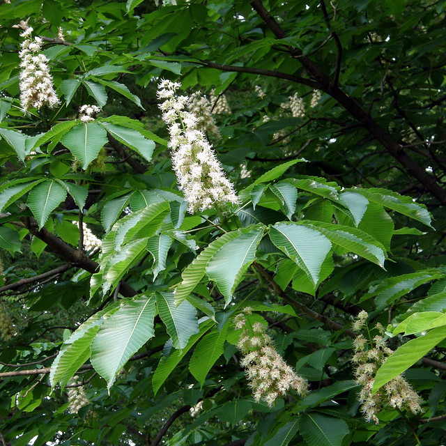 Photo:#8710 horse chestnut (セイヨウトチノキ) flowers By Nemo's great uncle