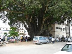 Stone Town Big Tree