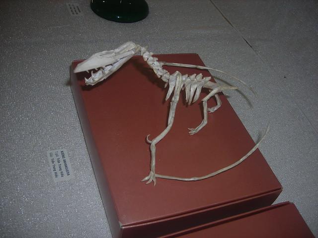 Anhanguera skeleton
