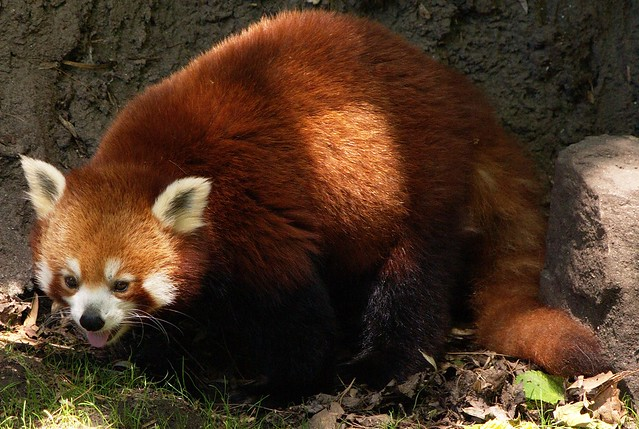 Red panda can't enjoy her sunlight