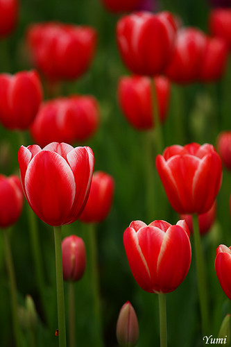 red tulip pattern