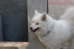 white shepherd(0.0), greenland dog(0.0), dog breed(1.0), animal(1.0), german spitz klein(1.0), dog(1.0), japanese spitz(1.0), pet(1.0), norwegian buhund(1.0), volpino italiano(1.0), german spitz(1.0), berger blanc suisse(1.0), kishu(1.0), german spitz mittel(1.0), carnivoran(1.0), american eskimo dog(1.0), samoyed(1.0),
