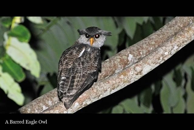 88_owleagle