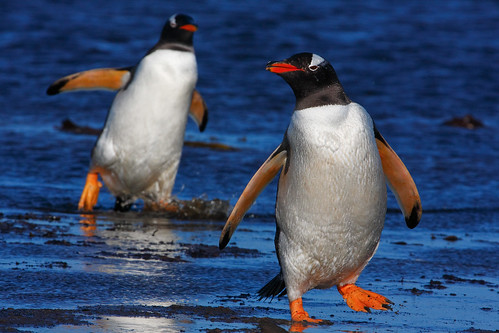 Gentoo Penguins by gavin_emmons