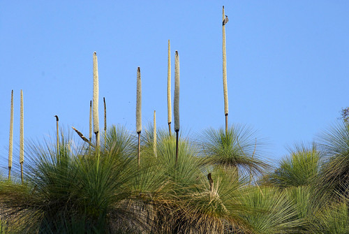 flickr  the xanthorrhoea - grass trees