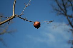 Oak gall IMG_0751