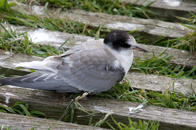Baby Arctic Tern | Flickr - Photo Sharing!