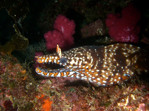 Dragon Moray Eel (at IOP)