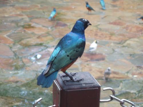 200907290918_Jurong-birdpark-Superb-starlling