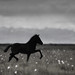 Trotting in the field (Iceland Herd 4) by Gígja Einars..