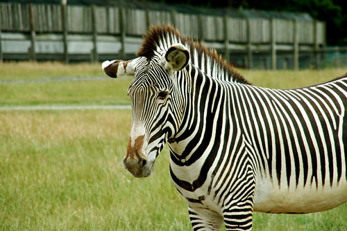 Britain's Next Top Zebra