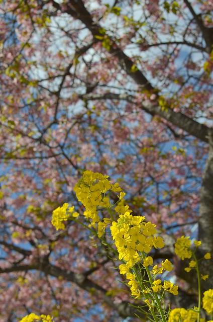 春の伊豆旅行 trip to Izu 2014年3月10日 河津桜