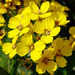 San Francisco wallflower - Photo (c) James Gaither, some rights reserved (CC BY-NC-ND)